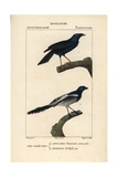 Violaceous Crow And Magpie Tanager From Sainte-Croix's Dictionary of Natural Science: Ornithology Giclee Print