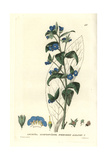 Evergreen Alkanet, Anchusa Sempervirens, From William Baxter's British Phaenogamous Botany, 1834 Giclee Print by William Delamotte