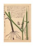 Rhizome And Root of Tidalmarsh Flat Sedge Giclee Print