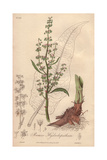 Great Water Dock, Rumex Hydrolapathum Giclee Print by G. Reid
