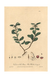 Red Whortle-berry, Vaccinium Vitis Idaea, From William Baxter's British Phaenogamous Botany, 1840 Giclee Print by Isaac Russell