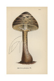 Parasol Mushroom, Agaricus Procerus Giclee Print by Mordecai Cubitt Cooke