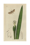 Limnephilus Elegans, Elegant Grannom Or Caddis-fly, with Fresh-water Soldier, Stratiodes Aloides Giclee Print by John Curtis