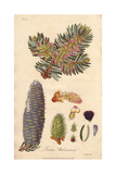 Balsam Fir, Abies Balsamea Giclee Print by E. Weddell