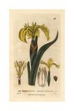 Yellow Water Iris, Iris Pseudo-acorus, From William Baxter's British Phaenogamous Botany, 1834 Giclee Print by William Delamotte