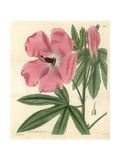 Splendid Hibiscus, Hibiscus Splendens Giclee Print by James McNab