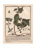 White Deadnettle, Lamium Album, From William Baxter's British Phaenogamous Botany, 1834 Giclee Print by Pierre Bulliard