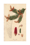 Norway Spruce, Pinus Abies Giclee Print by E. Weddell