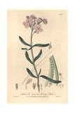Hoary Stock, Matthiola Incana, From William Baxter's British Phaenogamous Botany, Oxford, 1841 Giclee Print by Isaac Russell