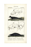 Hooded Seal And Elephant Seal From Frederic Cuvier's Dictionary of Natural Science: Mammals Giclee Print