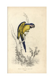 Blue And Yellow Macaw Giclee Print