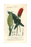 Lords And Ladies, Arum Maculatum Giclee Print by Pierre J-F Turpin
