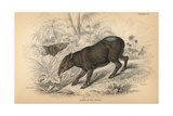 Tapir of the Andes Giclee Print