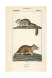 Dormouse And Rat From Frederic Cuvier's Dictionary of Natural Science: Mammals, Paris, 1816 Giclee Print