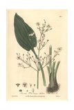 Water Plantain, Alisma Plantago, From William Baxter's British Phaenogamous Botany, Oxford, 1839 Giclee Print by Isaac Russell