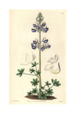Sea-shore Lupin, Lupinus Littoralis Giclee Print by Doctor Greville