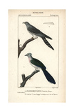 Cuckoo And Crested Coua From Sainte-Croix's Dictionary of Natural Science: Ornithology Reproduction procédé giclée