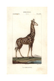 Giraffe, Giraffa Camelopardalis Giclee Print by Jean Gabriel Pretre