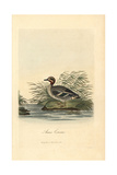 Common Teal, Anas Crecca Giclee Print by George Graves