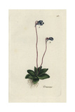 "Common Butterwort, Pinguicula Vulgaris, From Pierre Bulliard's ""Flora Parisiensis,"" 1776, Paris Giclee Print by Pierre Bulliard"