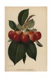 Bigarreau Napoleon Cherry, Prunus Variety Giclee Print by J.L. Macfarlane