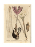 Meadow Saffron, Colchicum Autumnale Giclee Print by Isaac Russell