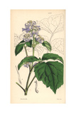 Virgin's Bower, Clematis Tubulosa Giclee Print by Walter Hood Fitch