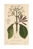 Red Bark, Cinchona Oblongifolia Giclee Print by G. Reid