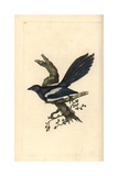 Magpie From Edward Donovan's Natural History of British Birds, London, 1799 Giclee Print by Edward Donovan