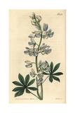 Lee's Blue-flowered Tree Lupin, Lupinus Nootkatensis Beta Fruticosus Giclee Print by John Curtis