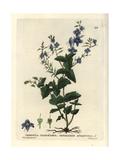 Germander Speedwell, Veronica Chamaedrys, From William Baxter's British Phaenogamous Botany, 1834 Giclee Print by William Delamotte