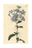 Phlox-like Leadwort, Plumbago Capensis Giclee Print by John Curtis