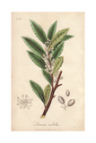 Bay Laurel Tree, Laurus Nobilis Giclee Print by E. Weddell