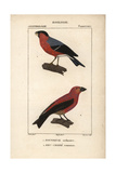 Bullfinch And Crossbill From Sainte-Croix's Dictionary of Natural Science: Ornithology Impression giclée