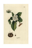 "Common Medlar Tree, Mespilus Germanica, From Pierre Bulliard's ""Flora Parisiensis,"" 1776, Paris Giclee Print by Pierre Bulliard"