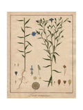 Common Flax Or Linseed, Linum Usitatissimum Giclee Print by Friedrich Gottlob Hayne