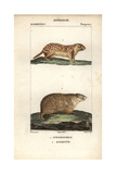 Ground Squirrrel And Marmot From Frederic Cuvier's Dictionary of Natural Science: Mammals Giclee Print