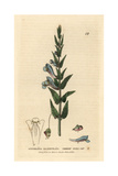Skullcap, Scutellaria Galericulata, From William Baxter's British Phaenogamous Botany, 1834 Giclee Print by Isaac Russell