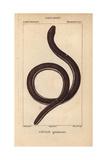 Ceylon Caecilian, Ichthyophis Glutinosus Giclee Print by Jean Gabriel Pretre