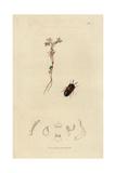 Lomechusa Dentata, Dinarda Maerkeli, Dentated Staphylinus Beetle Giclee Print by John Curtis