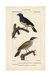 Turquoise And Palm Tanagers From Sainte-Croix's Dictionary of Natural Science: Ornithology Impression giclée