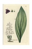 "Common Water-plantain, Alisma Plantago, From Pierre Bulliard's ""Flora Parisiensis,"" 1776, Paris Giclee Print by Pierre Bulliard"