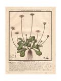 Common Daisy, Bellis Perennis Giclée-Druck von Pierre Bulliard