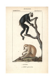 Indri And Sunda Slow Loris From Frederic Cuvier's Dictionary of Natural Science: Mammals Giclee Print