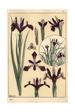Iris Plant And Flower Parts, with Inset Giclee Print by Eugene Grasset