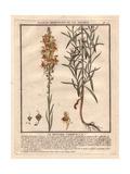 Yellow Snapdragon, Antirrhinum Vulgare Giclée-Druck von Pierre Bulliard