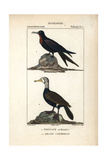 Frigatebird And Cormorant From Sainte-Croix's Dictionary of Natural Science: Ornithology Impression giclée