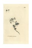 "Perennial Knawel, Scleranthus Perennis, From Pierre Bulliard's ""Flora Parisiensis,"" 1776, Paris Giclee Print by Pierre Bulliard"