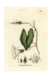 "Hedge Bindweed, Calystegia Sepium, From Pierre Bulliard's ""Flora Parisiensis,"" 1776, Paris Giclee Print by Pierre Bulliard"
