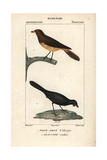 Oxpecker And Kokako From Sainte-Croix's Dictionary of Natural Science: Ornithology Giclee Print